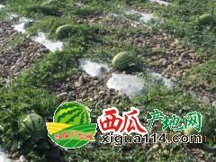 宁夏中卫西瓜上市时间@宁夏西瓜石头瓜多少千一斤
