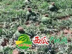 大量供应老挝甜王缅甸p2西瓜