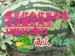 辽宁新民西瓜价格专业代办微信咨询13963719073