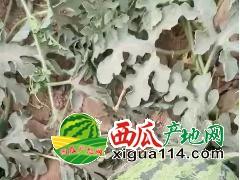 新疆西瓜价格行情多少钱【今日吐鲁番西瓜代办】