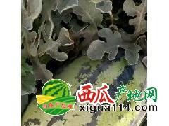 新疆精品西瓜(安农二号)/新疆西瓜价格行情代办代收