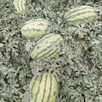 新疆吐鲁番西瓜价格产地/新疆西瓜代办代收咨询联系
