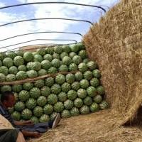 2021年宁夏中卫西瓜(硒砂瓜产地)宁夏西瓜批发价格